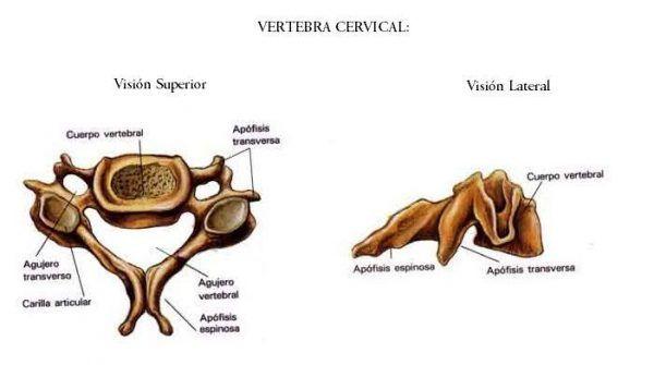 La COLUMNA VERTEBRAL [Anatomía] VÍDEOS y Teoría | Anatomía