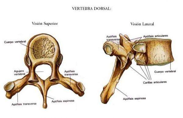 La COLUMNA VERTEBRAL [Anatomía] VÍDEOS y Teoría   Anatomía