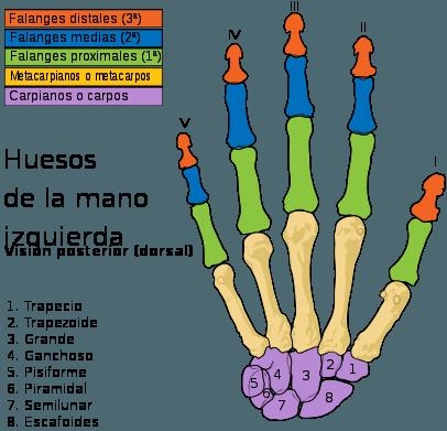 Huesos de la Mano Izquierda Articulaciones de la Mano