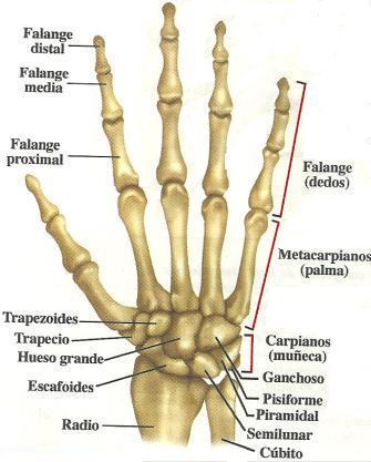 Huesos de la Mano y Muñeca Articulaciones de la Mano