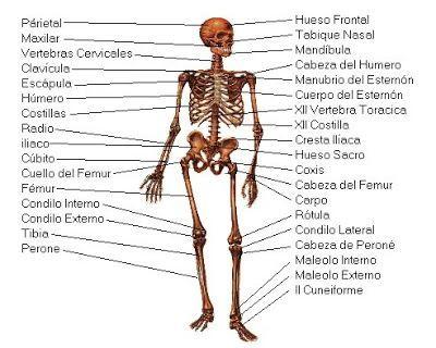 El Esqueleto Humano | Anatomía
