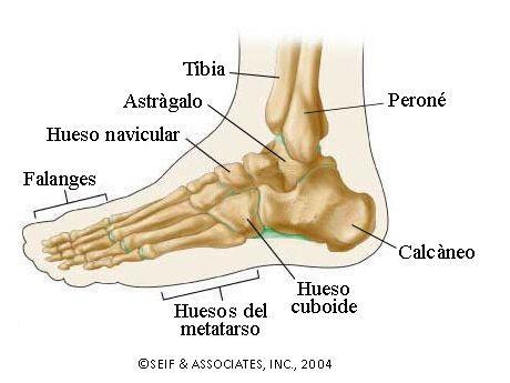 La Articulación Del Tobillo Anatomía