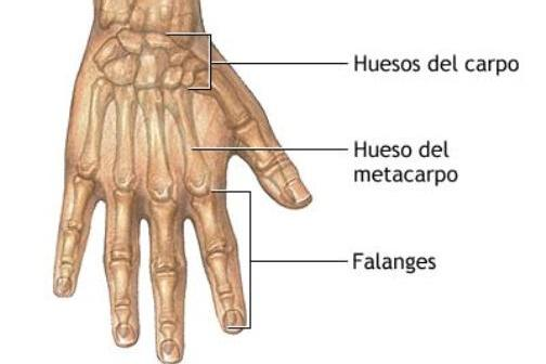 Anatomía de los dedos de la mano | Anatomía