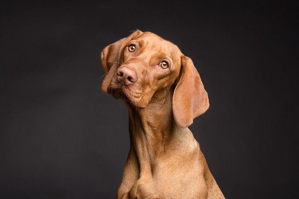 La HERNIA DISCAL en perros
